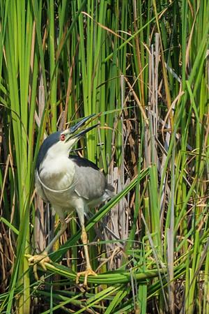 Black-crowned Night Heron ... Presqu'ile